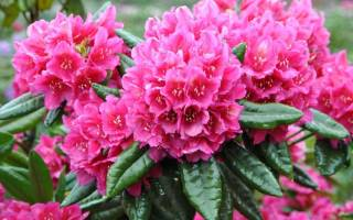 Рододендрон период цветения