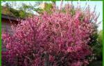 Луизиания розовое облако