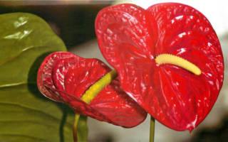 Комнатный цветок мужское счастье как ухаживать