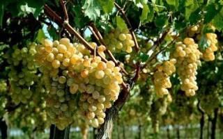 Проращивание черенков винограда осенью