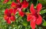 Как поливать китайскую розу в домашних условиях