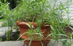 Тархун растение выращивание
