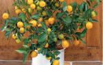 Размножение мандарина черенками в домашних условиях