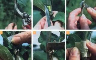 Как размножить грецкий орех черенками