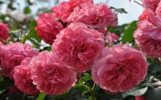 Зимостойкие розы сорта