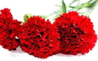 Выбираем самые свежие розы
