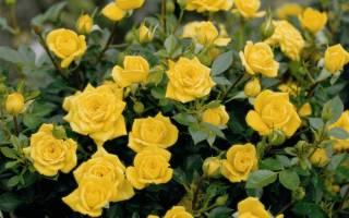 Общие сведения о миниатюрных розах
