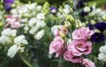 Особенности выращивания эустомы