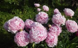 Розовые пионы фото