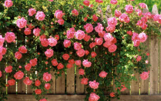 Плетущие растения для сада многолетние
