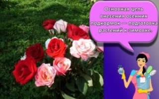 Каменная роза посадка и уход