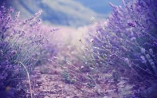 Осенний уход за лавандой