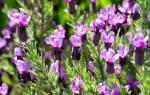 Как цветет лаванда фото