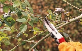 Особенности обрезки плетистых роз