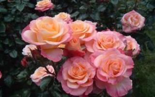 Все про розы как за ними ухаживать