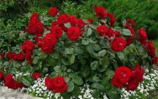 Виды и сорта кустовых роз
