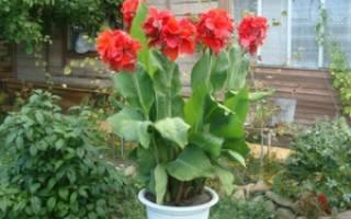 Растение канна выращивание и уход