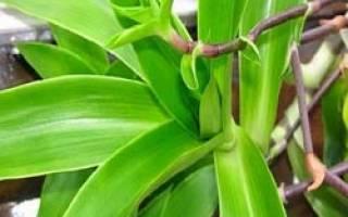 Комнатное растение золотой ус лечебные свойства
