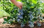 Голубика бывает разная особенности морозостойкости сортов
