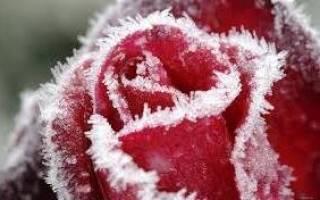 Зимняя окулировка роз на шиповник