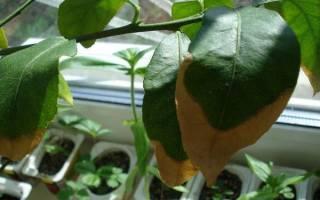 Почему сохнут листья у лимона комнатного