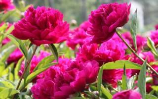 Период цветения пионов