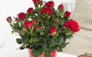 Комнатные растения розы в горшочках правильный уход