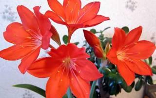 Валотта комнатное растение