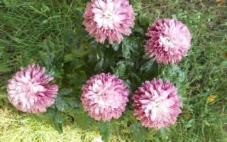 Способы содержания хризантемы мультифлора зимой