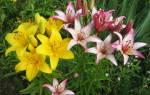 Пересадка лилий весной основные правила