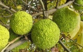 Растение адамово яблоко применение