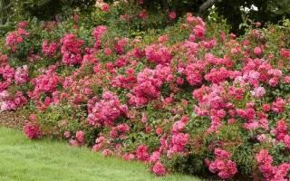 Особенности посадки почвопокровной розы в саду