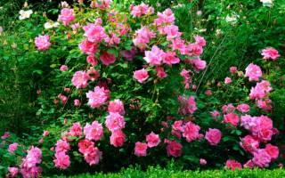 Как привить розу на шиповник весной