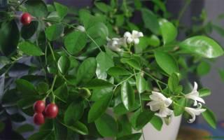 Муравия комнатное растение