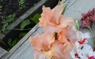 Фото и названия сортов белых гладиолусов