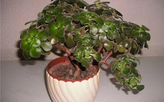 Дерево счастья растение комнатное