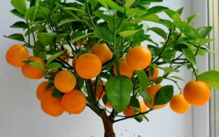Комнатное растение апельсиновое дерево