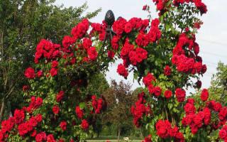 Нужно ли укрывать плетистые розы на зиму