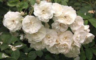 Какие розы могут стать донорами для нарезки черенков