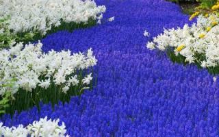 Низкорослые многолетники цветущие всё лето