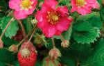 Земляника розовая мечта f1 семена