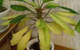 Молочай комнатный желтеют и опадают листья