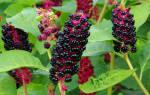 Растение лаконос лекарственные свойства