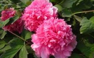 Пион голубая хризантема