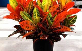 Комнатный цветок кротон размножение