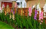 Хранение гладиолусов в домашних условиях