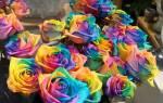 Как сделать радужную розу своими руками видео