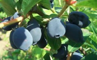 Ранняя ягода жимолость съедобная посадка и уход размножение