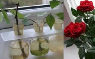Как размножать розы черенками в домашних условиях