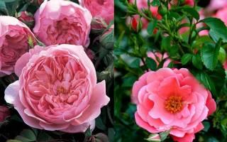 Когда лучше сажать семена розы на рассаду весной